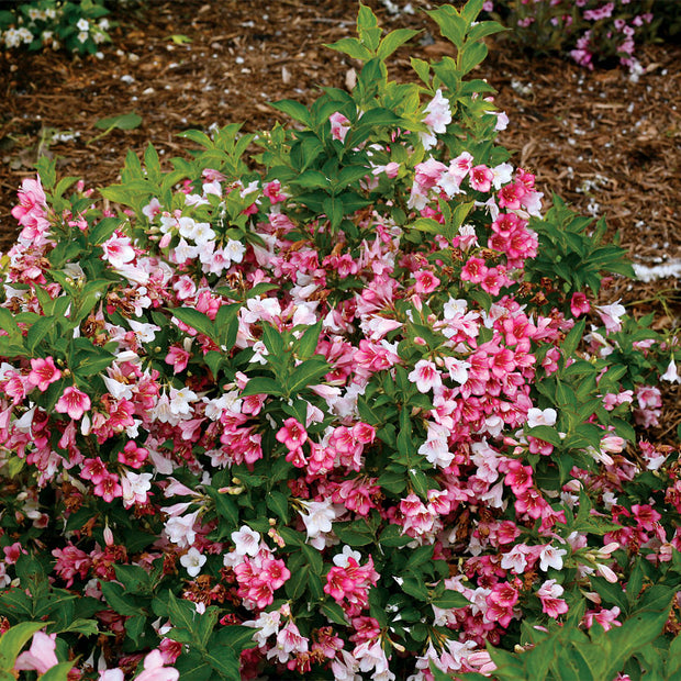 "Weigela ""Czechmark trilogy"""