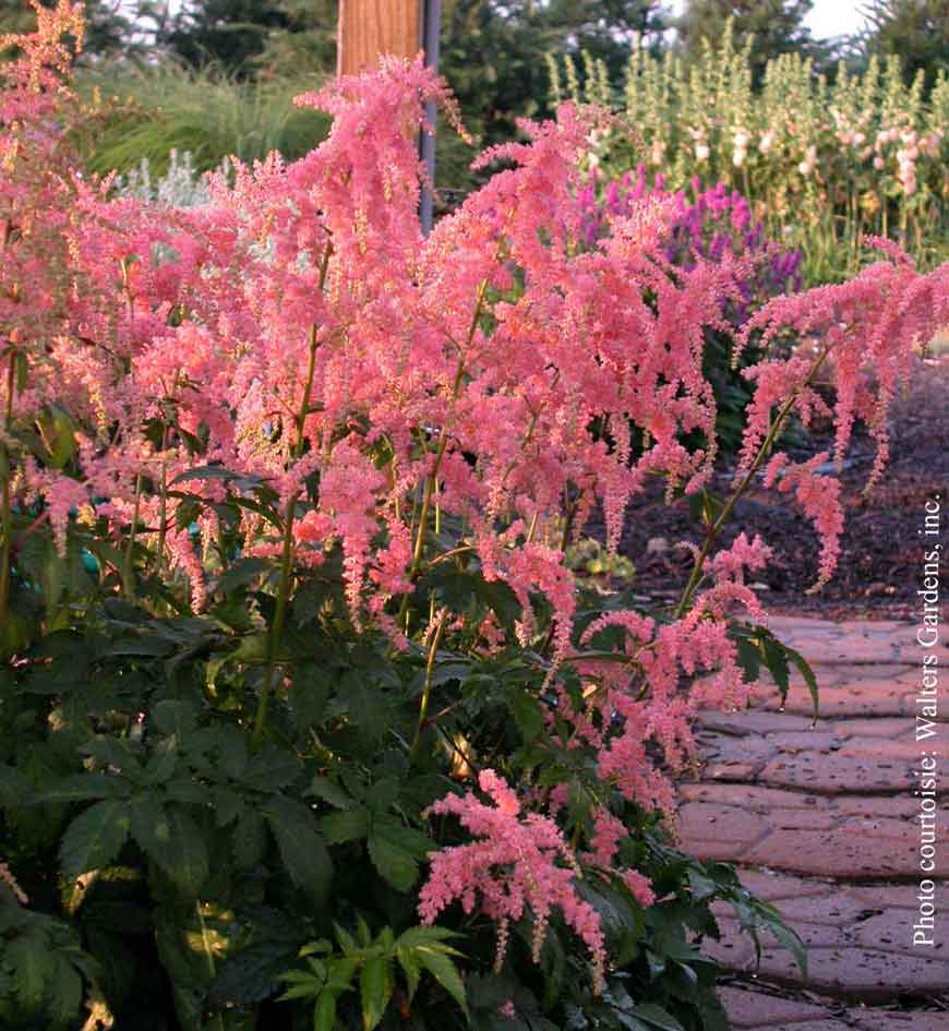 Astilbe thunbergii Ostrich Plume
