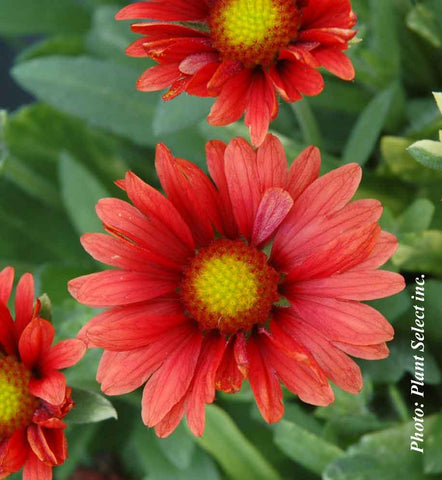 Gaillarde Arizone Red Shades