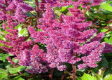 Astilbe chinensis Vision in Red