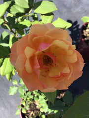 Rosier grandiflora About Face Orange