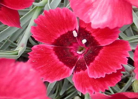 Dianthus Eastern Star