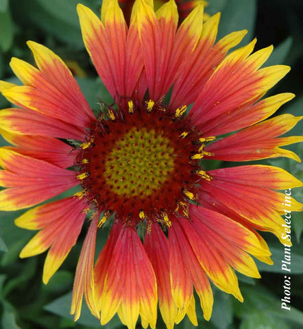 Gaillarde Arizon Sun