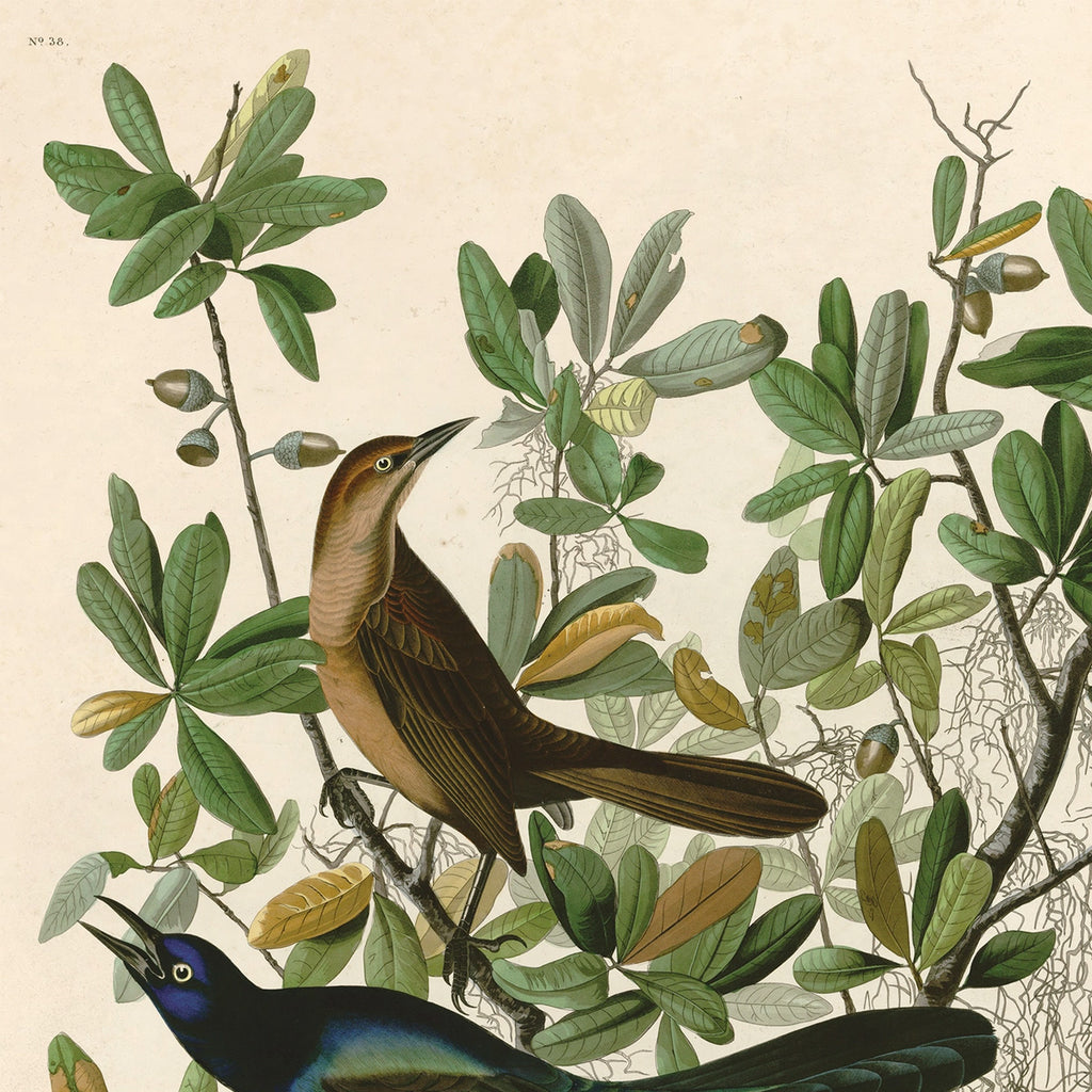 Vintage Natural History Bird Grackle Print