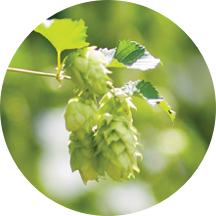 CHOICE DEBITTERED / AGED HOPS - Leaf