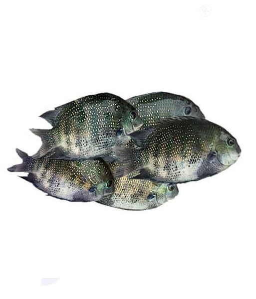 Buy Pearl Spot Fish Karimeen കരിമീൻ Price Online Doha Qatar