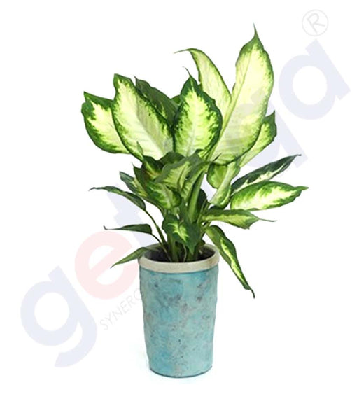 Buy Potted Cammile Plant at Best Price Online in Doha Qatar
