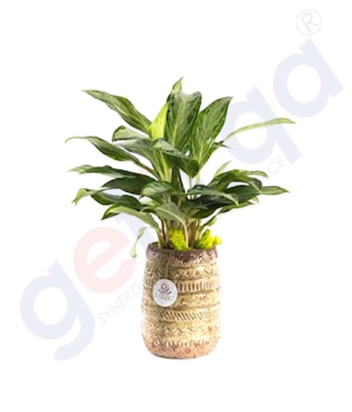 Buy Potted Emerald Plant Price Online in Doha Qatar