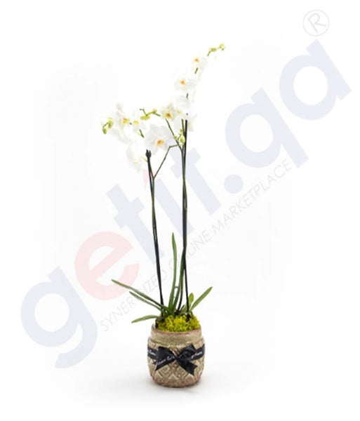 Buy Potted Phalaenopsis Plant Price Online in Doha Qatar