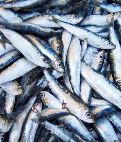Request Quote for Frozen Sardines Price Online Doha Qatar