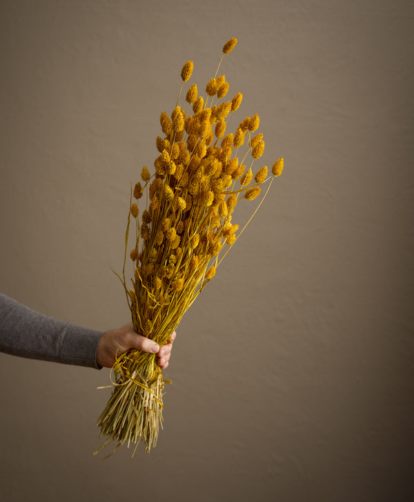 Dried Phalaris Yellow
