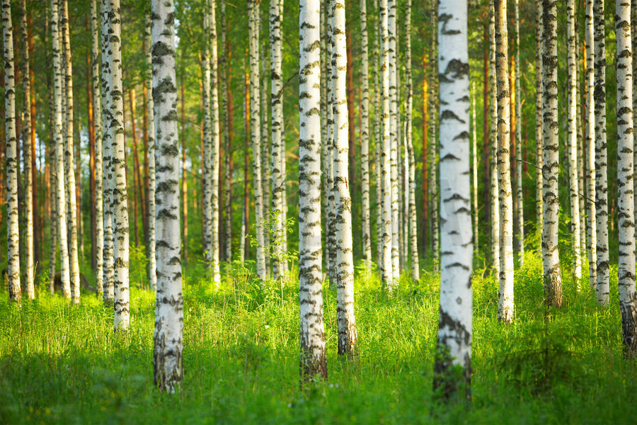 The Story of Finnish Birch Xylitol