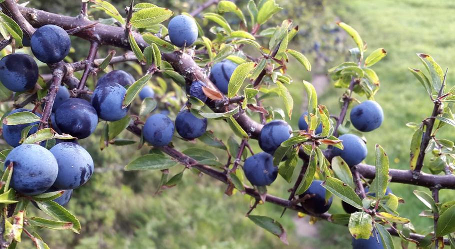 Season of the Sloe