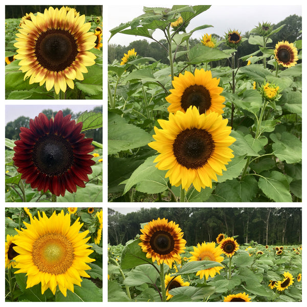 Sunflower picking tips