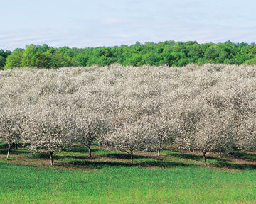 Tart Cherry Blossoms - Traverse Bay Farms