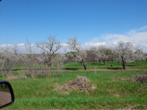 Michigan Cherry Orchard Photos