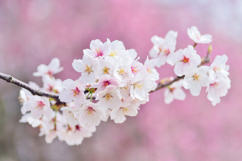 National Cherry Month - Cherry Blossoms