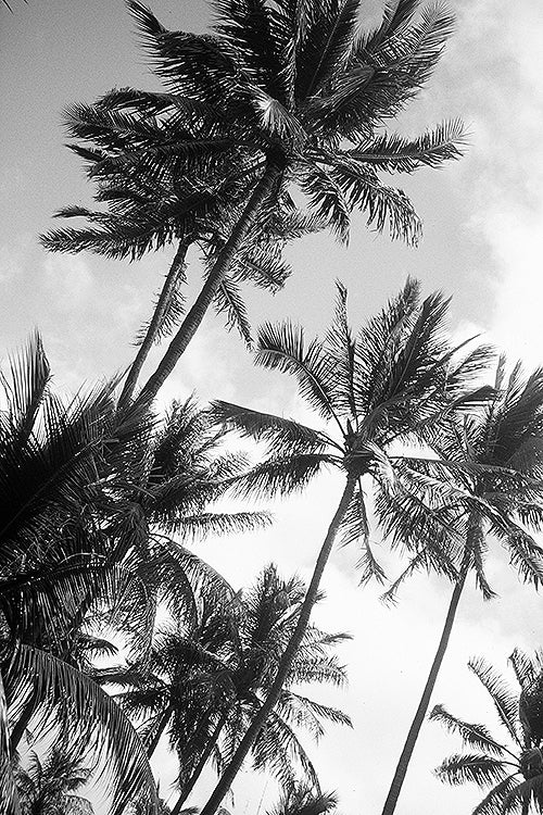 Sway This Way custom image available from the North Shore of Oahu in Hawaii of an angle looking up on palm trees to be made on a poster, print, canvas, acrylic, wood, metal and wall murals.