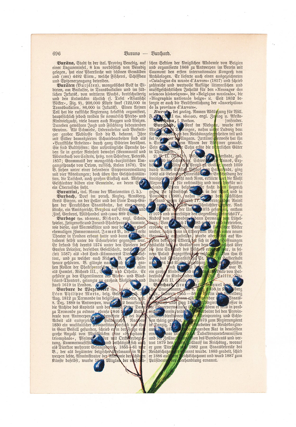 Dianella intermedia - Flower - Art on Words