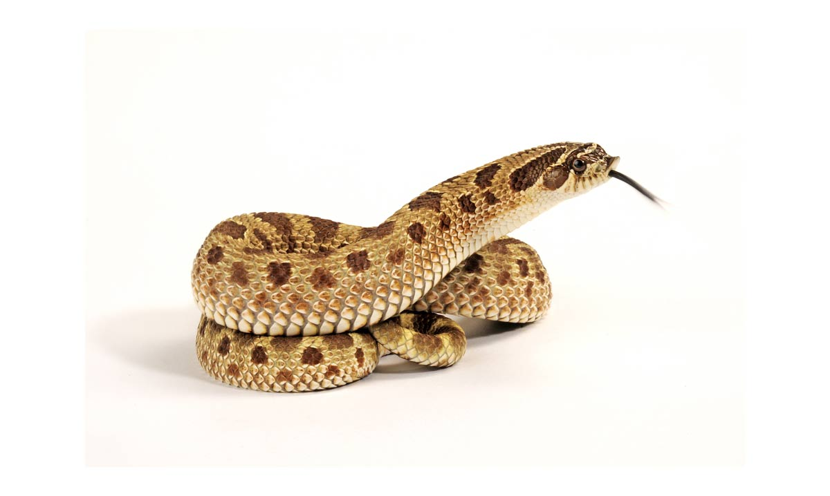 Care Sheet for Western Hognose Snakes � Reptiles Lounge
