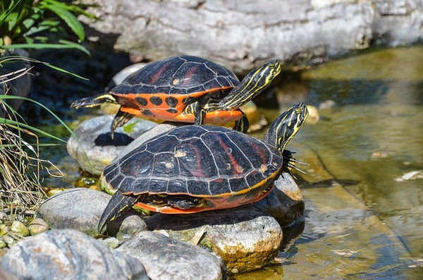 A pair of painted turtles.