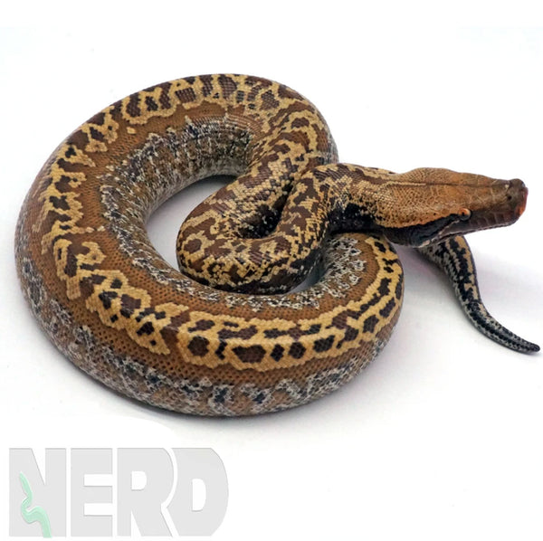 Blood Python FAQs and Care Information
