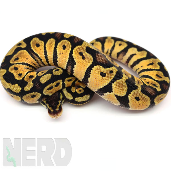 Ball Python FAQs and Care Sheet