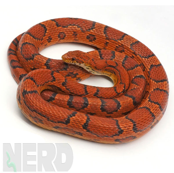 CORN SNAKE FAQs and CARE INFO