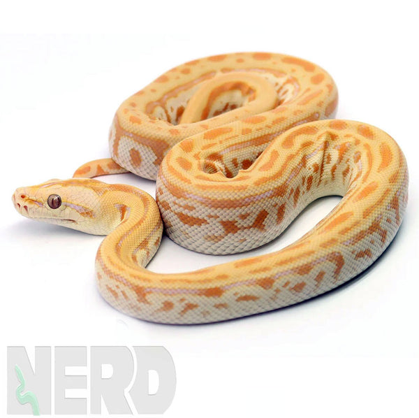 Burmese Python FAQs and Care Information