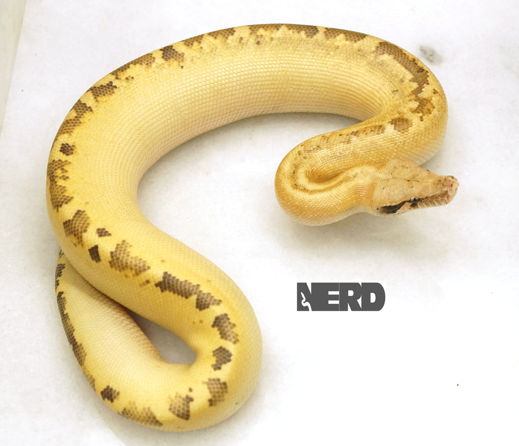 Female Ivory Blood Python