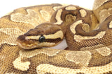 Load image into Gallery viewer, 2019 Male Enchi Orange Dream Yellowbelly Odium + Ball Python