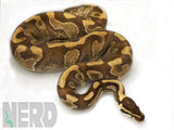 Load image into Gallery viewer, Breeder Male Mojave Enchi Odium Ball Python