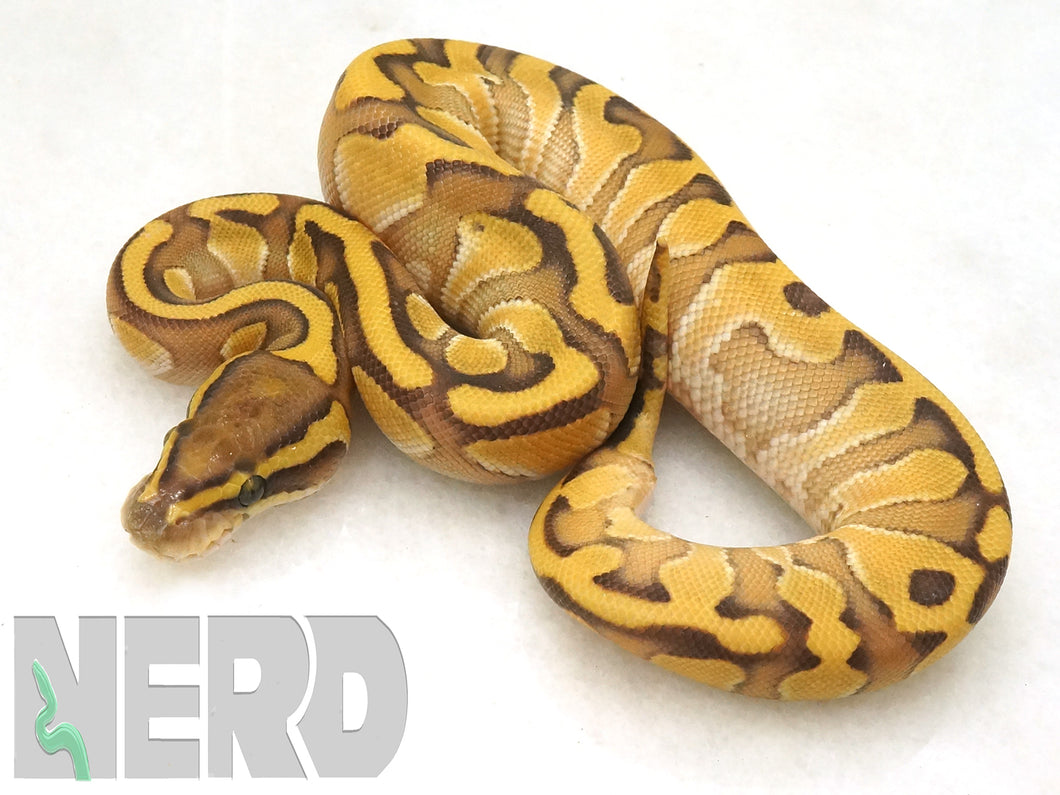 2019 Female Enchi Lesser Yellowbelly + Possible het Piebald Ball Python