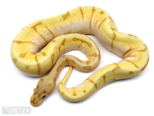 2019 Male Coral Glow Super Enchi Spider Possible Orange Dream Possible Het Piebald Ball Python