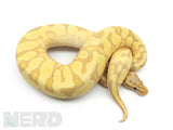 Load image into Gallery viewer, 2019 Female Coral Glow Enchi Fader Odium Plus Ball Python