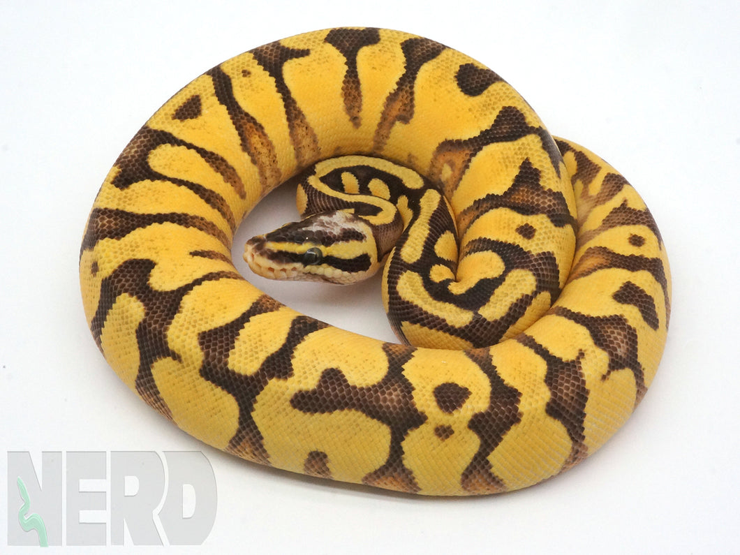 2019 Female Pastel Enchi Orange Dream Yellowbelly Bald Ball Python