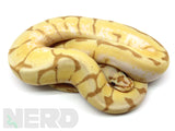 Load image into Gallery viewer, 2019 Male Bumble Bee Enchi Coral Glow Het Axanthic Ball Python