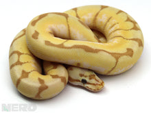 2019 Male Bumble Bee Enchi Coral Glow Het Axanthic Ball Python
