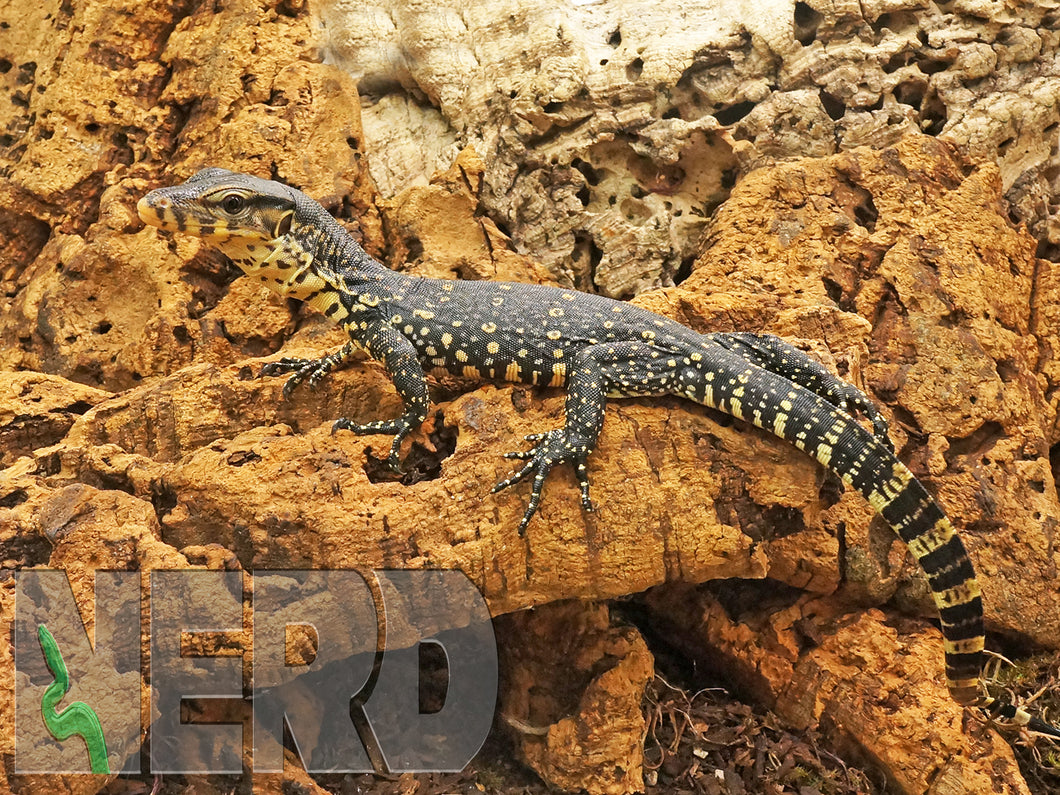 2020 CBB NERD Socialized FEMALE Het Black Dragon Asian Water Monitor