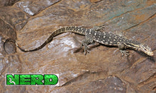 Female Palu Locaility Water Monitor
