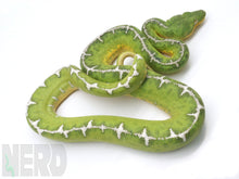 "2018 Female ""Barbed Wire"" Amazon Basin Emerald Tree Boa"