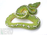 "Load image into Gallery viewer, 2018 Female ""Barbed Wire"" Amazon Basin Emerald Tree Boa"