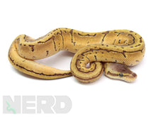 2020 Male Lemon Blast 100% Het Piebald Ball Python