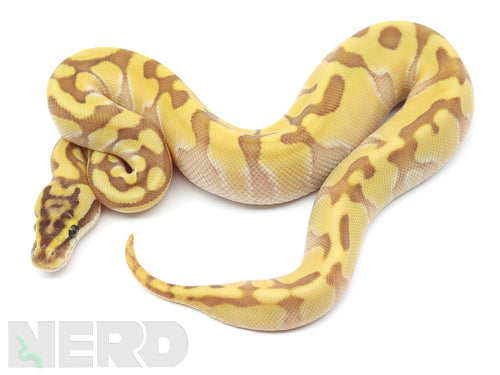 2020 Female Enchi Lesser Harlequin Ball Python