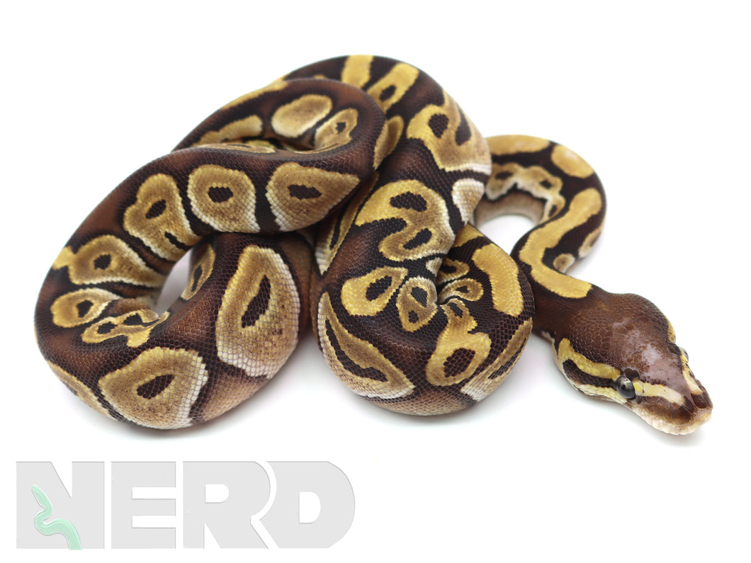 2020 Female Mojave Yellowbelly Fader Microscale Het Piebald Ball Python