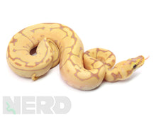 2020 Male Coral Glow Spider Leopard Yellowbelly Poss Het Piebald Ball Python