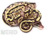 Load image into Gallery viewer, 2020 Male Pastel Lucifer Mahogany Fader + Ball Python