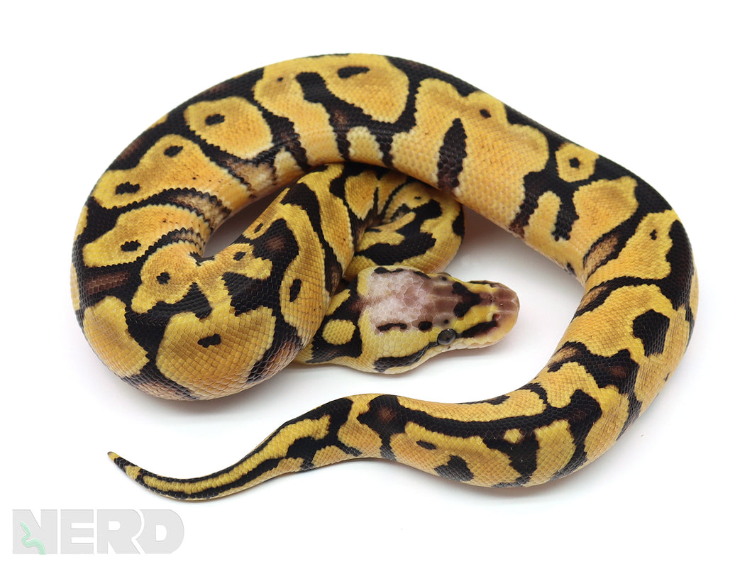 2020 Male Pastel Enchi EMG Het Clown Ball Python