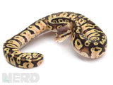 Load image into Gallery viewer, 2020 Female Inferno Fader Poss Het Albino/Toffeee Ball Python