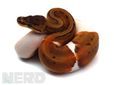 Load image into Gallery viewer, 2020 Female Pinstripe Enchi Piebald Het Albino Ball Python